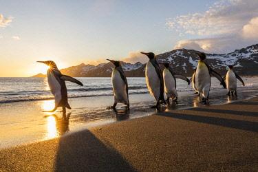 AN02BJA0113 South Georgia Island, St. Andrew's Bay. King penguins walk on beach at sunrise