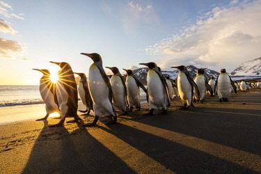 AN02BJA0114 South Georgia Island, St. Andrew's Bay. King penguins walk on beach at sunrise