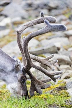 NOR1001 The Arctic, Europe, Norway, Svalbard, Spitsbergen, Reindeer (Rangifer tarandus)
