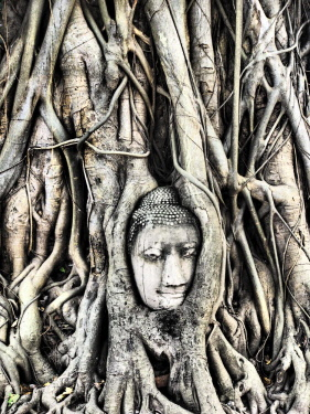 AS36TEG0331 Southeast Asia, Thailand, Ayutthaya, the head of the sandstone Buddha image in roots of Bodhi tree