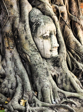 AS36TEG0332 Southeast Asia, Thailand, Ayutthaya, the head of the sandstone Buddha image in roots of Bodhi tree