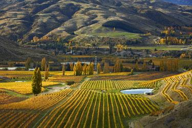 AU02DWA9522 Autumn colors, Felton Road Vineyard, Bannockburn, near Cromwell, Central Otago, South Island, New Zealand
