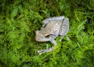 CA27MPR0076 Common coqui, Eleutherodactylus coqui, El Verde, El Yunque NF, Puerto Rico