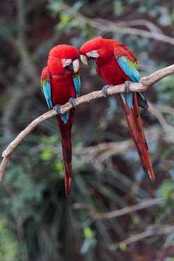 SA04EGO0356 Brazil, Mato Grosso do Sul, Jardim, Sinkhole of the Macaws. A pair of red-and-green macaws interacting together.