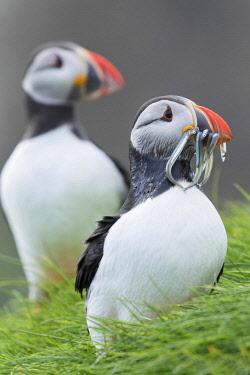 EU07MZW0213 Atlantic Puffin (Fratercula Arctica) In A Puffinry On Mykines, Part Of The Faroe Islands In The North Atlantic. Catch Of Fish (Sandeel) In Its Beak. Denmark, Faroe Islands