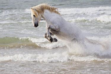 EU09EGO0028 France, The Camargue, Saintes-Maries-de-la-Mer. Camargue horse in the surf of the Mediterranean Sea.