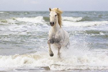 EU09EGO0039 France, The Camargue, Saintes-Maries-de-la-Mer. Camargue horse in the surf of the Mediterranean Sea.