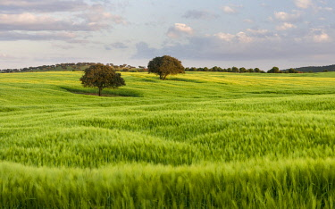 EU23MZW0384 Landscape with fields of grain near Mertola in the nature reserve Parque Natural do Vale do Guadiana, Portugal, Alentejo