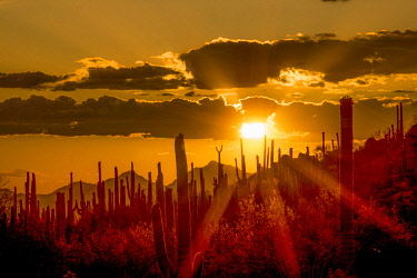 US03PHA0229 USA, Arizona, Tucson, Saguaro National Park