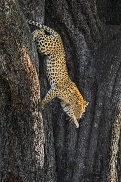 BOT5220 Botswana, Vumburua Plains, Okavango Delta. A leopard descending a tree.