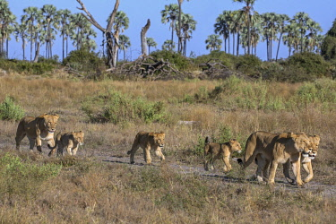 BOT5257 Botswana, Chief's Island, Okavango Delta. A pride of lions on the move in the early morning.