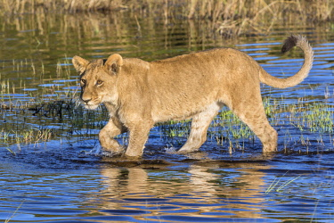 BOT5270 Botswana, Chief's Island, Okavango Delta. A young lion wading through shallow water.