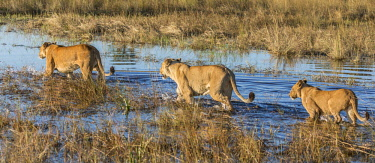 BOT5273 Botswana, Chief's Island, Okavango Delta. Three lionesses wading through shallow water.