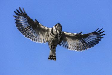 BOT5310 Botswana, Hunda Island, Okavango Delta. A Pied Kingfisher hovering in flight.
