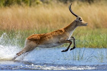 BOT5321 Botswana, Hunda Island, Okavango Delta. A Red Lechwe taking a leap over shallow water.