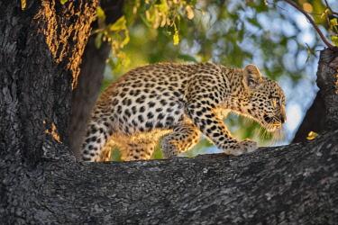 BOT5329 Botswana, Vumburua Plains, Okavango Delta. A leopard cub in a tree.