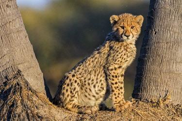 BOT5342 Botswana, Chief's Island, Okavango Delta. A Cheetah cub.