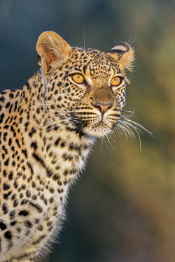 BOT5346 Botswana, Chief's Island, Okavango Delta. A portrait of a leopard standing on a log.