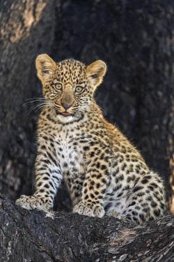 BOT5357 Botswana, Vumburua Plains, Okavango Delta. A leopard cub in a tree.