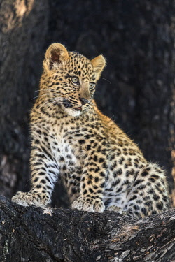 BOT5358 Botswana, Vumburua Plains, Okavango Delta. A leopard cub in a tree.