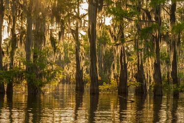 US19BJA0136 USA, Louisiana, Atchafalaya Basin. Cypress trees reflect in swamp