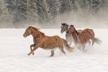 US27AJE0199 Horse roundup in winter, Kalispell, Montana