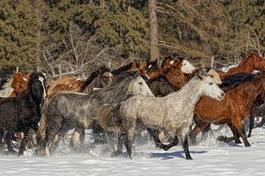 US27AJE0271 Horse roundup in winter, Kalispell, Montana, Equus ferus caballus
