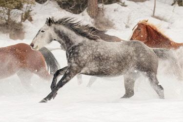 US27AJE0281 Horse roundup in winter, Kalispell, Montana, Equus ferus caballus