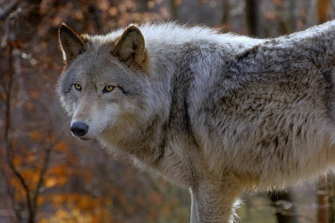 US31BJA0034 USA, New Jersey, Columbia, Lakota Wolf Preserve. Close-up of timber wolf
