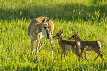 US42BJA0057 USA, South Dakota, Custer State Park. Pronghorn doe and fawns