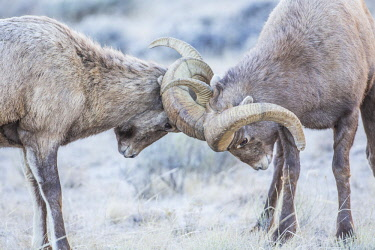 US51EBO0470 USA, Wyoming, Jackson, National Elk Refuge, two bighorn sheep rams lock horns during the rut.