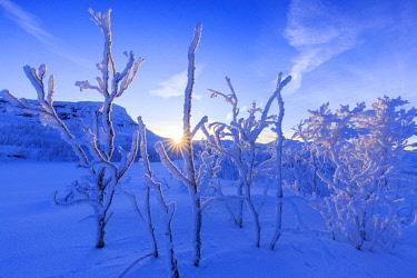 CLKFB62699 Last sun on frost plants. Riskgransen, Norbottens Ian, Lapland, Sweden,Europe