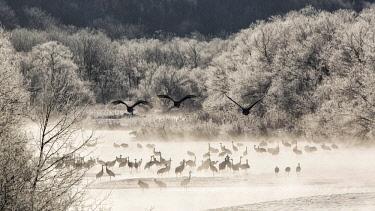 CLKMG60615 Red crowned cranes from Otowa bridge, Tsurui, Hokkaido, Japan