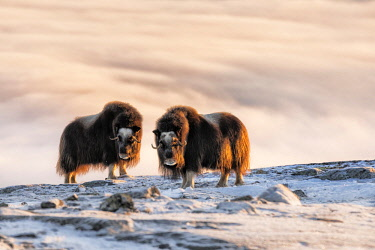 CLKMG62000 Musk Oxen in Dovrefjell National Park, Oppdal, Norway