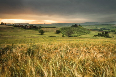 CLKRM57440 Sunrise on the fields of corn and the gentle green hills of Val d'Orcia province of Siena Tuscany Italy Europe