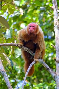BRA3431AW Brazil, Amazonas, Brazilian Amazon, Bald uakari (Cacajao calvus)