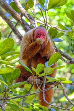 BRA3433AW Brazil, Amazonas, Brazilian Amazon, Bald uakari (Cacajao calvus)