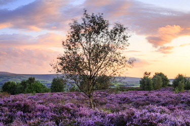 ENG14888AW England, Yorkshire, Calderdale. Birch tree and heather on a windy evening at Norland Moor.