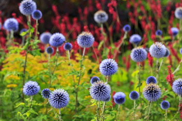 ENG14930AW England, Yorkshire, Helmsley. Globe Thistle flowers at Helmsley Walled Garden.