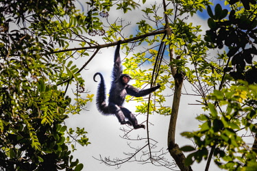 HMS2476681 Guyana, French Guyana Amazonian Park, heart area, Camopi, spider monkey red face (Ateles paniscus) in the canopy on Mount Itoupe (830 m), the second summit of Guyana, in the mountain range of the Tabl...