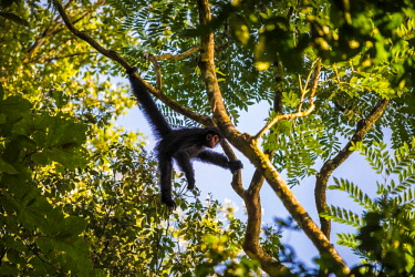 HMS2476682 Guyana, French Guyana Amazonian Park, heart area, Camopi, spider monkey in juvenile red face (Ateles paniscus) in the canopy on Mount Itoupe (830 m), the second summit of Guyana, in the mountain range...