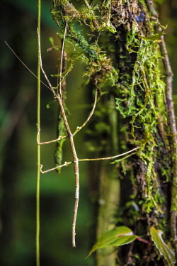 HMS2476732 Guyana, French Guyana Amazonian Park, heart area, Mount Itoupe, rainy season, swinging stick insect to mimic the movement of vines on a mossy trunk in forest summit clouds (830 m)