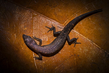 HMS2476737 Guyana, French Guyana Amazonian Park, heart area, Mount Itoupe, rainy season, lizard (Amapasaurus tetradactylus) on litter the undergrowth, with the particularity of having only four fingers on the fo...