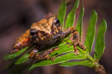HMS2476741 Guyana, French Guyana Amazonian Park, heart area, Mount Itoupe, rainy season, frog species (Pristimantis espedeus) described by Antoine Fouquet, endemic in eastern Guyana Shield, linked to the higher...