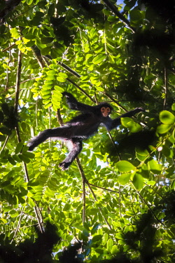 HMS2476756 Guyana, French Guyana Amazonian Park, heart area, Camopi, spider monkey red face (Ateles paniscus) in the canopy on Mount Itoupe (830 m), the second summit of Guyana, in the mountain range of the Tabl...