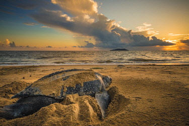 HMS2608710 French Guiana, Cayenne, Gosselin beach, female leatherback turtle (Dermochelys coriacea) nesting in the morning