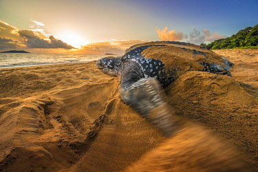 HMS2608711 French Guiana, Cayenne, Gosselin beach, female leatherback turtle (Dermochelys coriacea) nesting in the morning