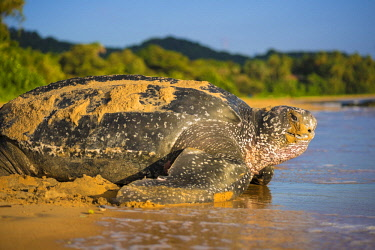 HMS2608712 French Guiana, , Gosselin beach, return to the Atlantic Ocean of a female leatherback turtle (Dermochelys coriacea) after nesting in the morning