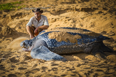 HMS2608715 French Guiana, Cayenne, Gosselin beach, return to the Atlantic Ocean of a female leatherback turtle (Dermochelys coriacea) after nesting in the early morning