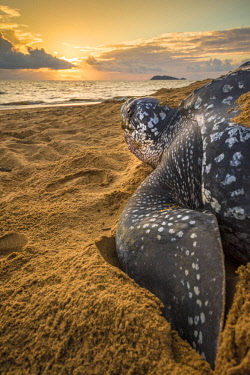 HMS2608760 French Guiana, Cayenne, Gosselin beach, female leatherback turtle (Dermochelys coriacea) nesting in the morning